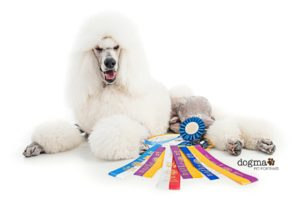 White Standard Poodle picture for the blog winning ribbons