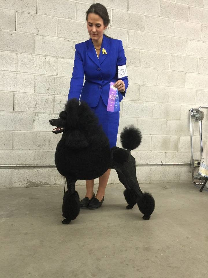 black standard poodle pictured with winning ribbons in Idaho