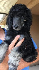 Standard-Poodle-Puppy-For Sale